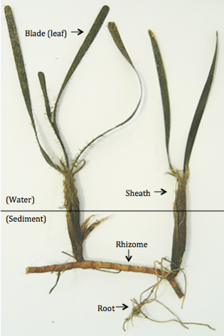 Seagrass Anatomy